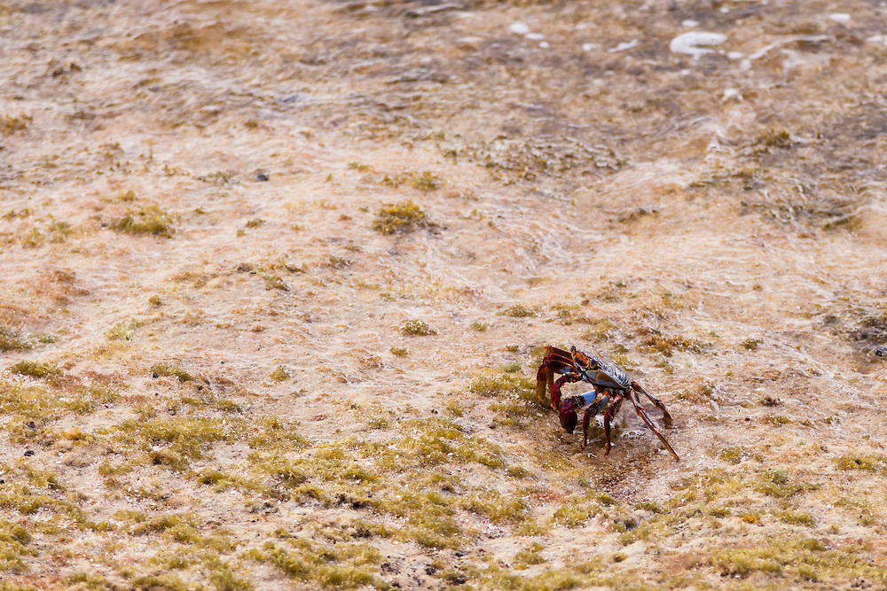 Sally Lightfoot or Red Rock Crab (Grapsus grapsus) forages for anything on its omnivorous diet upon the rocky beach of Botany Bay on St.Thomas, USVI.