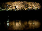 proposal, cherry blossoms