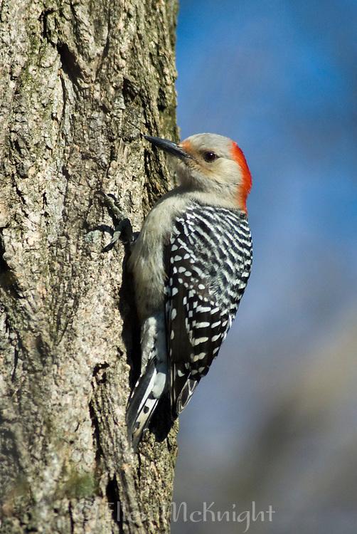 Red-bellied Woodpecker (Melanerpes carolinus) in Central Park, New York City