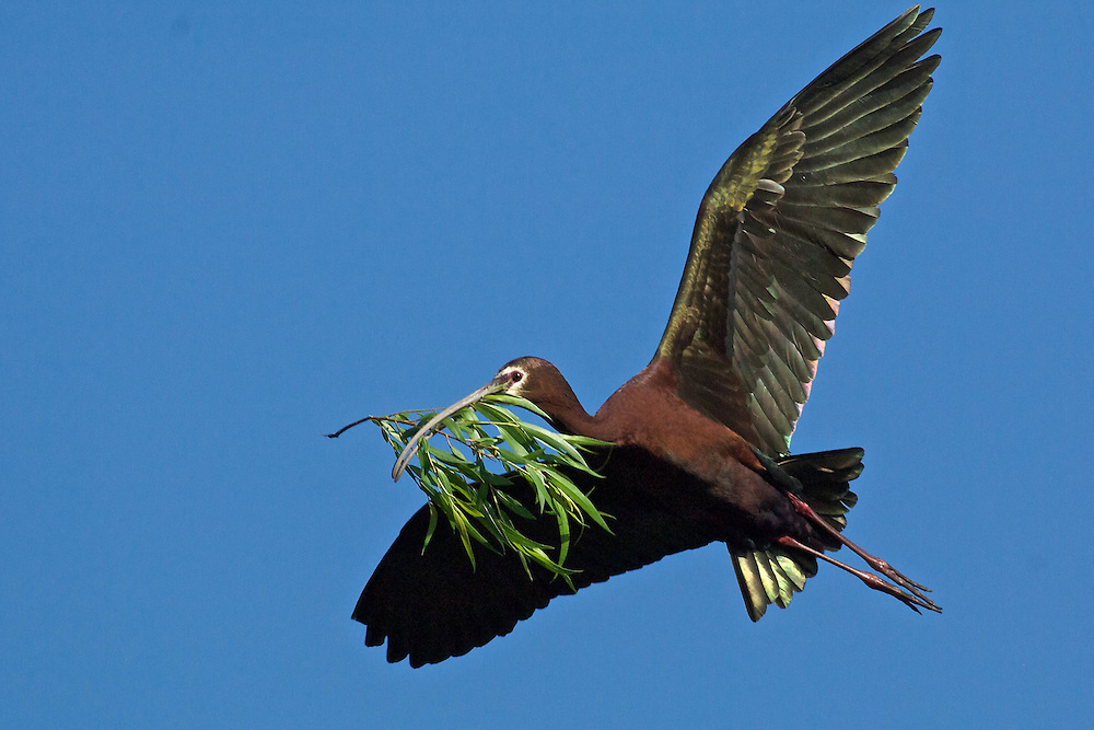 White Faced Ibis with Nesting Material