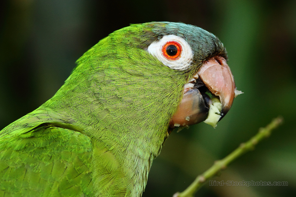 Blue-crowned Parakeet, (Blue-crowned Conure), Aratinga acuticaudata, sideview of head, Brazil, by Markus Lilje
