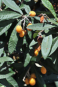 Close up of the ripe fruit on a loquat tree (Eriobotrya japonica) Photographed in Israel in spring, May