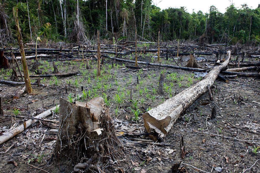 Rainforest land cleared and burned near Beniek, Indonesia, Sept. 5, 2008..Daniel Beltra/Greenpeace