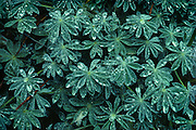 Lupine leaves in the rain, Cascade Falls, Yosemite National Park, California  1980