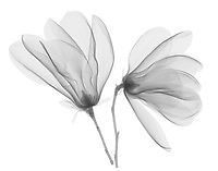 X-ray image of magnolia flowers (Magnolia, black on white) by Jim Wehtje, specialist in x-ray art and design images.