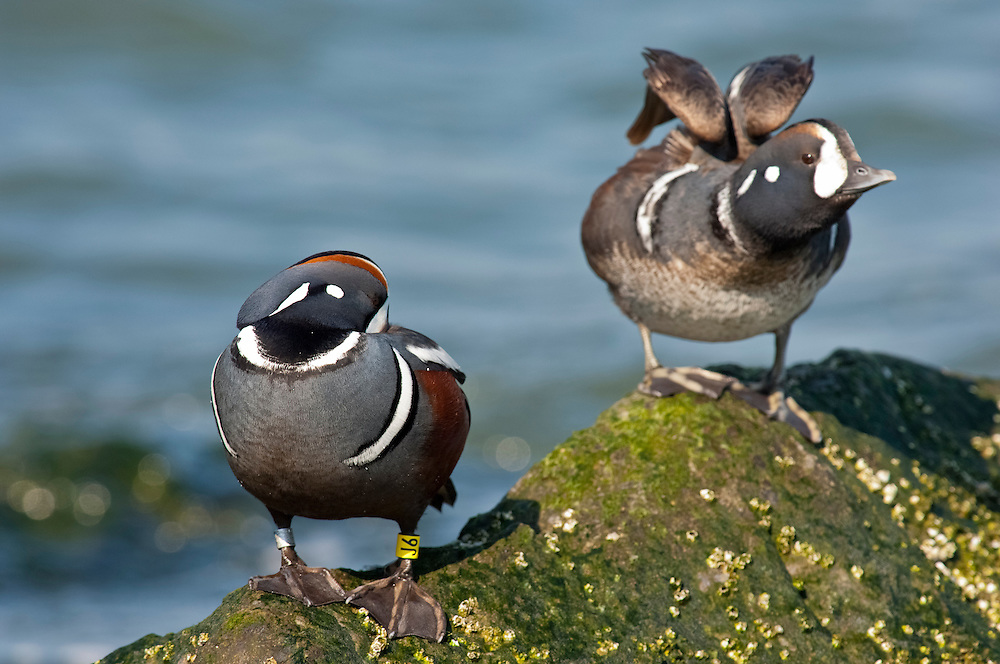 Harlequin Duck, Histrionicus histrionicus, male, tarsal band