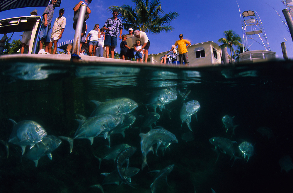 Tourists feed Crevalle Jacks, Caranx hippos, at the Sailfish Marina in the Lake Worth Lagoon in Singer Island, Florida