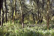 Nederland, Ooijpolder, 3-1-2006Ooibos, ooijbos, ooybos, in de uiterwaarden van natuurgebied de Millingerwaard langs de rivier de Waal. Natuurbeheer, natuurbehoud. Milieu, waterhuishouding. Gelderse poort.Foto: Flip Franssen/Hollandse Hoogte