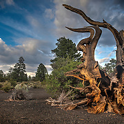 Roots of a Pine Tree in volcanic cinder area in Norhtern Arizona