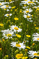 Wild shasta daisy wildflowers in full bloom along the banks of a river in Idaho.