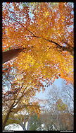 Vertical panoramic photography of fall leaves in Rock Creek Park, Washington, DC with Calvert Street Bridge..Print Size (in inches): 8.5x15; 14x24; 21x36; 27.5x48; 35.5x60; 41.5x72