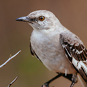 Mockingbird in morning light on a South Texas Ranch.