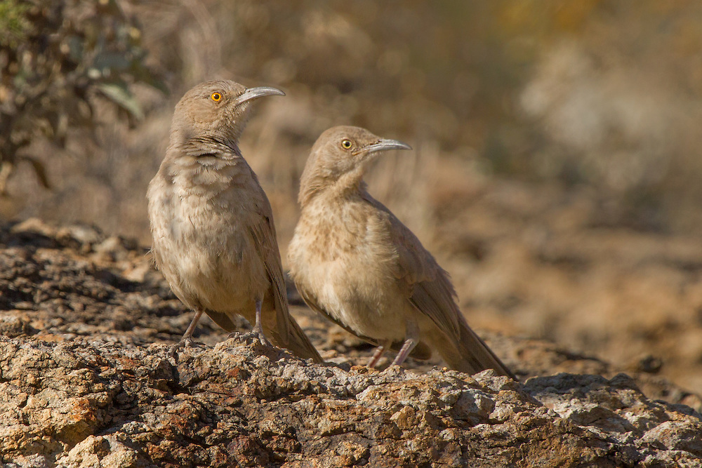 Two Curve-billed thrashers (Toxostoma curvirostre), Gates Pass in the Tucson Mountains, Arizona