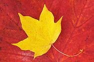 Maple leaves, (Acer platanoides), Sweden