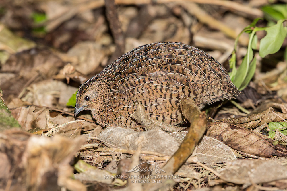 Brown Quail, Tiritiri Matangi, New Zealand