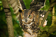 Theodore Roosevelt Sanctuary Screech Owl 6_27_09