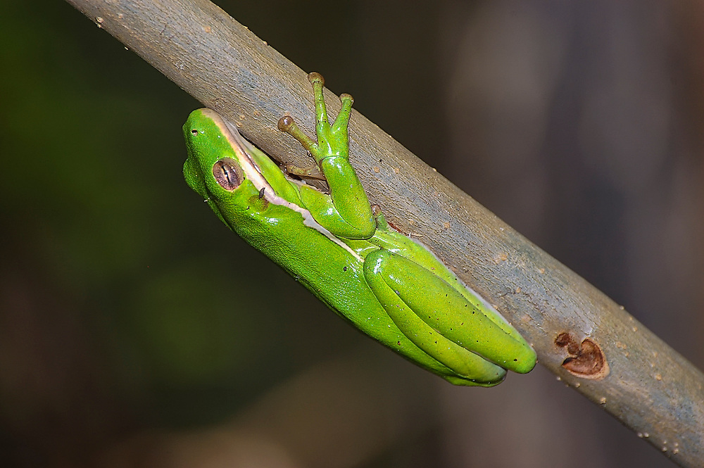 One of the most common wetland treefrogs of the American Southeast, these brilliantly green predators are found (and most often heard) among the aquatic plant such as cat-tails and arrowheads on the edges of swamps, lakes, creeks and ponds.