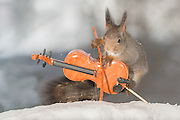 """EXCLUSIVE<br /> Photographer Pictures Squirrels With Tiny Musical Instruments Through Kitchen Window<br /> <br /> Some years ago, squirrels started to come to photographer Geert Weggen's  garden, He decided to build an outside studio from a balcony and started to shoot photos his kitchen window, Some days upto 6 squirrels visit Geert daily.<br /> <br /> This year Geert worked on an idea for a children's book, """"Squirrel Teaching You The Alphabet"""", and was confronted with some letters like an object starting with an """"X"""". That became a squirrel photo with a xylophone. From there Geert started doing a series of squirrel photos with music instruments. """"It took months to get some music instruments with the right size. I try to bring some magic, wonder and happiness with my work"""", these are real photos. Sometimes I take away a wire or some food.<br /> <br /> Photo Shows: ROCK VIOLIST....red squirrel in snow with violin  <br /> ©Geert Weggen/Exclusivepix Media"""
