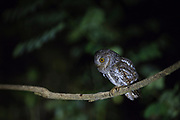 Oriental Scops-owl (Otus sunia) perched on branch. Kaeng Krachan National Park. Thailand.