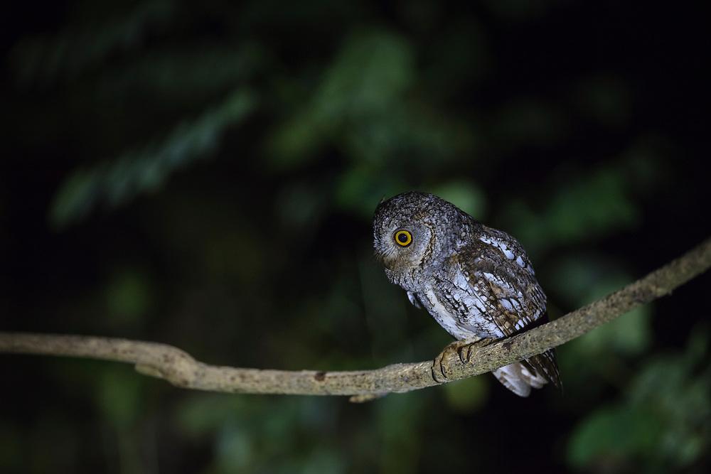 Oriental Scops-owl (Otus sunia) perched on branch. Kaeng Krachan National Park. Thailand.