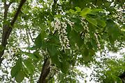 college green, MappAthens, summer, Tree Tour, yellowwood