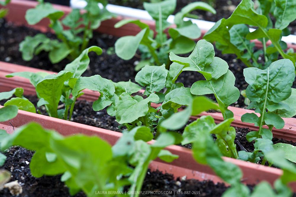 Arugula plants in a window box container garden