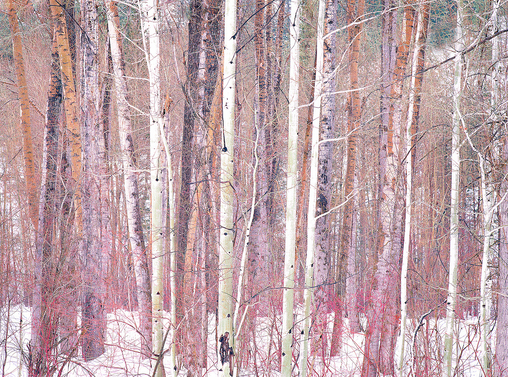 Winter aspen forest Methow Valley Washington State