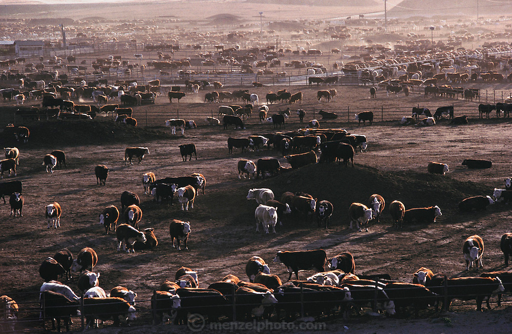 Harris Ranch cattle ranch in Coalinga, California. San Joaquin valley. Harris Ranch cattle feed lot is California's largest. USA [[From the company: THE HARRIS FARMS GROUP OF COMPANIES. Harris Farms, Inc. is one of the nation's largest, vertically integrated family owned agribusinesses]].