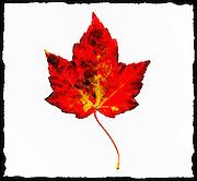 Fall Foliage Project - Maple Leaf