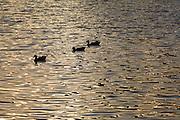 Sao Paulo_SP, Brasil...Marrecos (Anas querquedula) no lago do Parque do Ibirapuera...Mallards (Anas querquedula) in a lake of Ibirapuera Park...Foto: MARCUS DESIMONI / NITRO
