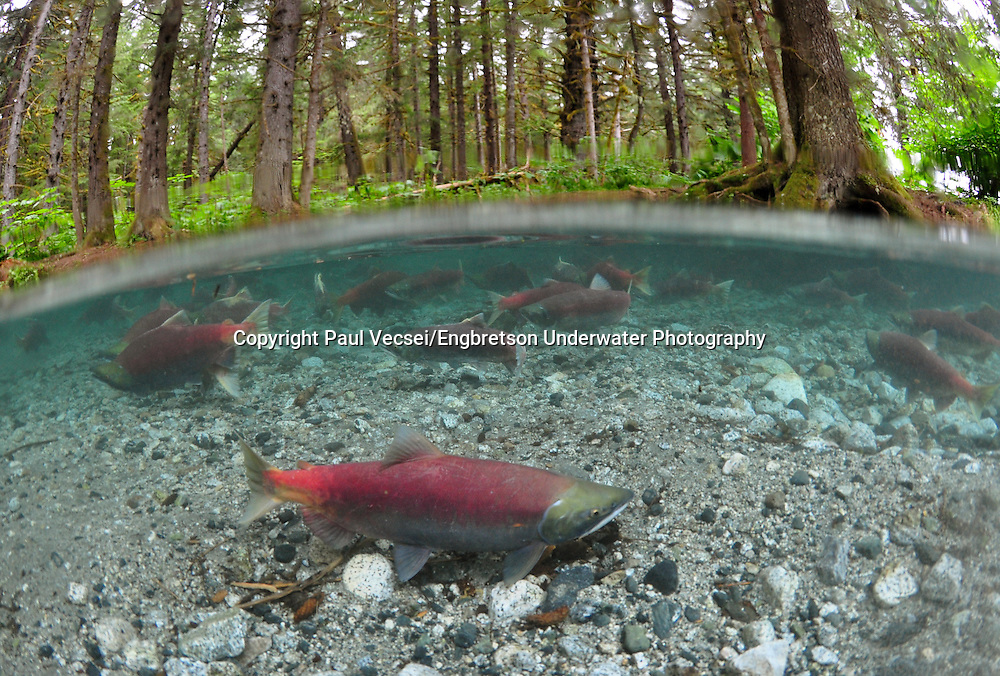 Sockeye Salmon<br /> <br /> PAUL VECSEI/ENGBRETSON UNDERWATER PHOTO
