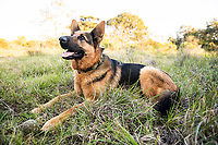 Alsatian Counter-Poaching Dog, Amakhala Private Game Reserve, Eastern Cape, South Africa