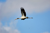 Wood Stork (Mycteria americana) in flight, Arthur J Marshall National Wildlife Reserve - Loxahatchee, Florida, USA.   Photo: Peter Llewellyn
