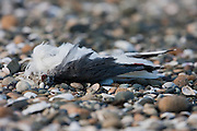 Red-billed Gull, dead, New Zealand