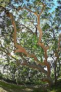 Eucalypt Tree, Australia
