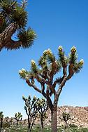 Flowering joshua trees beginning to bloom in spring at Joshua Tree National Park, California.