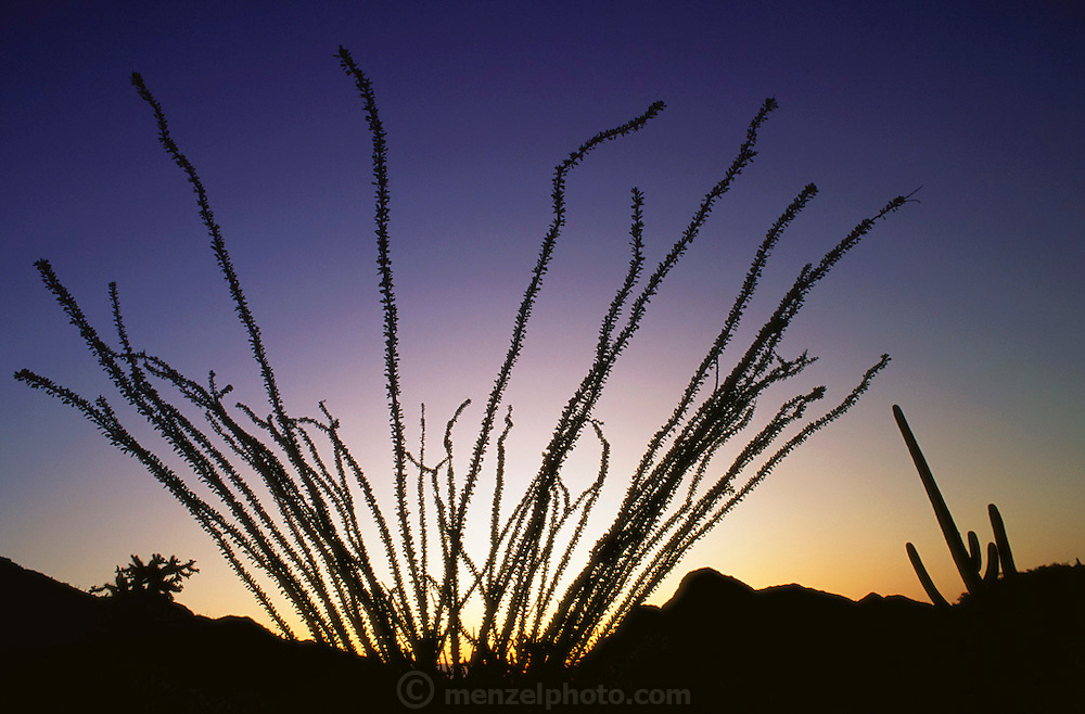 Ocotillo cactus near Gates Pass, Tucson, Arizona desert at sunset. Saguaro cactus is at right.