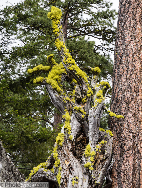 Yellow lichen covers a twisted tree on the Iron Creek to Teanaway Ridge Trail, Wenatchee National Forest, Blewett Pass, Washington, USA
