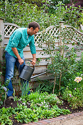 Watering a camellia with a watering can