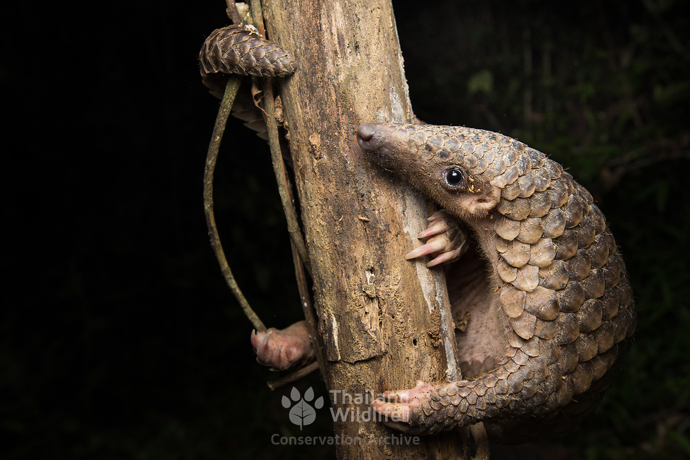 Sunda pangolin (Manis javanica) with defensive termites biting the exposed skin to deter the pangolin from robbing their mount. Photographed in the Western Forest Complex of Thailand