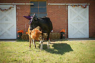 Dairy cattle in costume for social media use by Animal Science. jersey calf with a lions mane and holstein cow with a witches hat. seasonal halloween