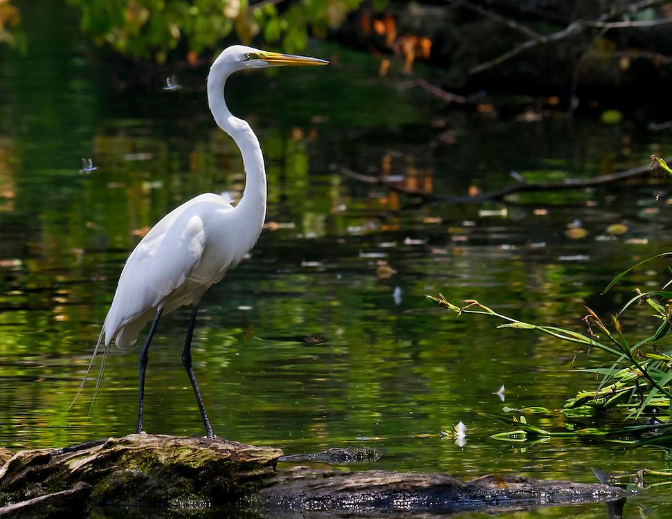 Egret is resting  on a log at Prospect Park lake.