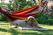 Golden Retriever Lemmy im Garten unter einer Hängematte in welcher eine Frau liegt. Der Golden Retriever ist ein intelligenter, freudig arbeitender Hund, dem auch extreme, nasskalte Witterungsbedingungen nichts ausmachen. Dem steht allerdings eine relativ starke Empfindlichkeit hinsichtlich hoher Temperaturen gegenüber. Grundsätzlich ist die Rasse ruhig, geduldig, aufmerksam und niemals aggressiv.<br /> <br /> Golden Retriever Lemmy under a hammock with a woman in the garden.