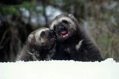 Wolverine, (Gulo gulo) Young kits in snow near den. Spring. Rocky mountains. Montana.  Captive Animal.