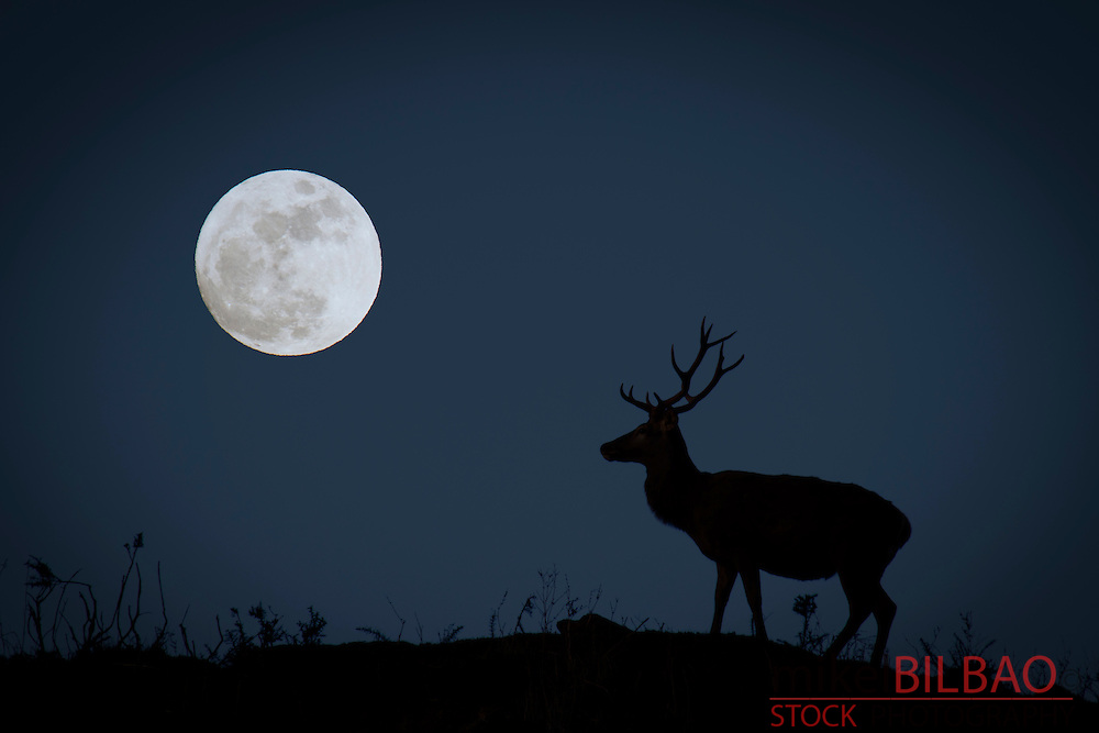 Red Deer (Cervus elaphus) and full moon