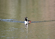 A male hooded merganser swimming on a hidden pond on Jekyll Island Georgia.