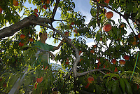 Taylor enjoys a fresh peach picked right off the tree in the Okanagan, BC Canada