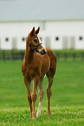 Curlin colt by Crosswinds. <br /> Hinkle Farm is home to top stakes producing mares including Derby 142 favorite Nyquist and 2016 Ashland Stakes Weep No More, Wednesday, April 27, 2016 at Hinkle Farm in Paris.