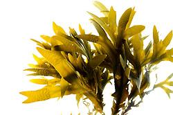 Bladder wrack (Fucus vesiculosus), Roscoff, France | <br /> Wirkstoffe des heimischen Blasentanges (Fucus vesiculosus) k&ouml;nnen das Wachstum von Krebszellen in der Bauchspeicheldr&uuml;se d&auml;mmen. Roscoff, Frankreich