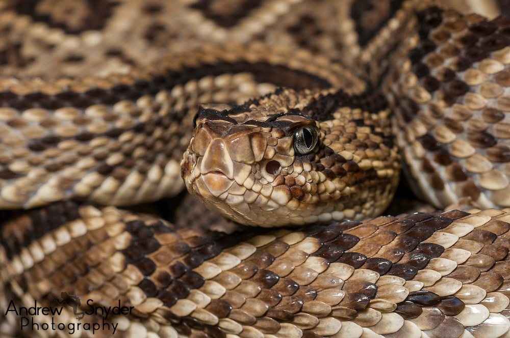 Neotropical Rattlesnake (Crotalus durissus) from Kusad Mountain, Guyana.